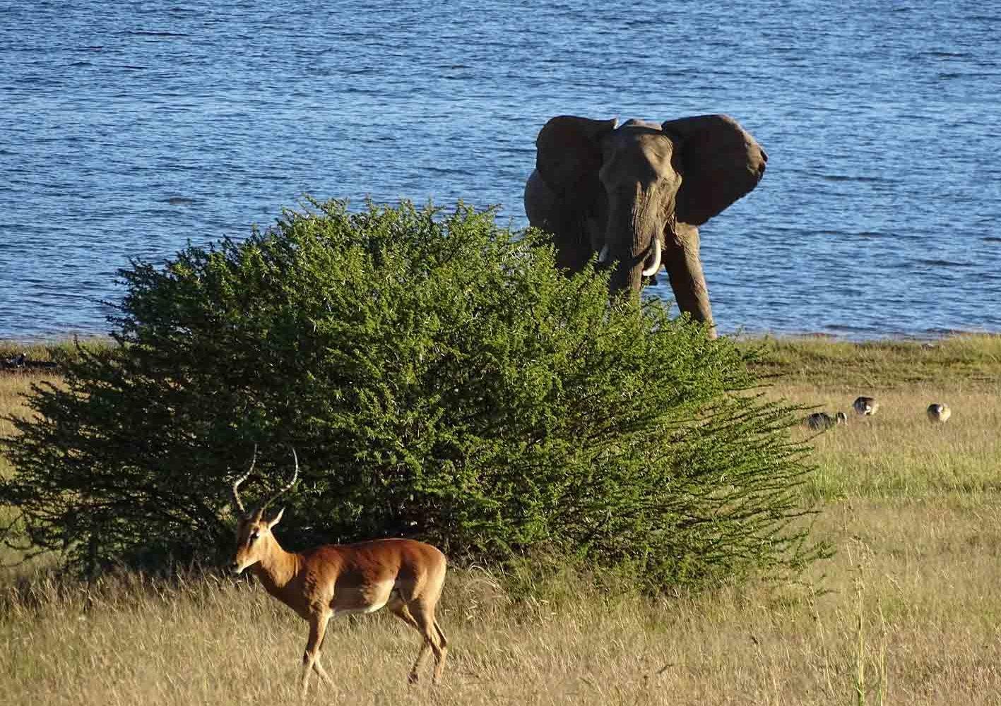 Elefant am See im Pilanesberg-Nationalpark, Südafrika
