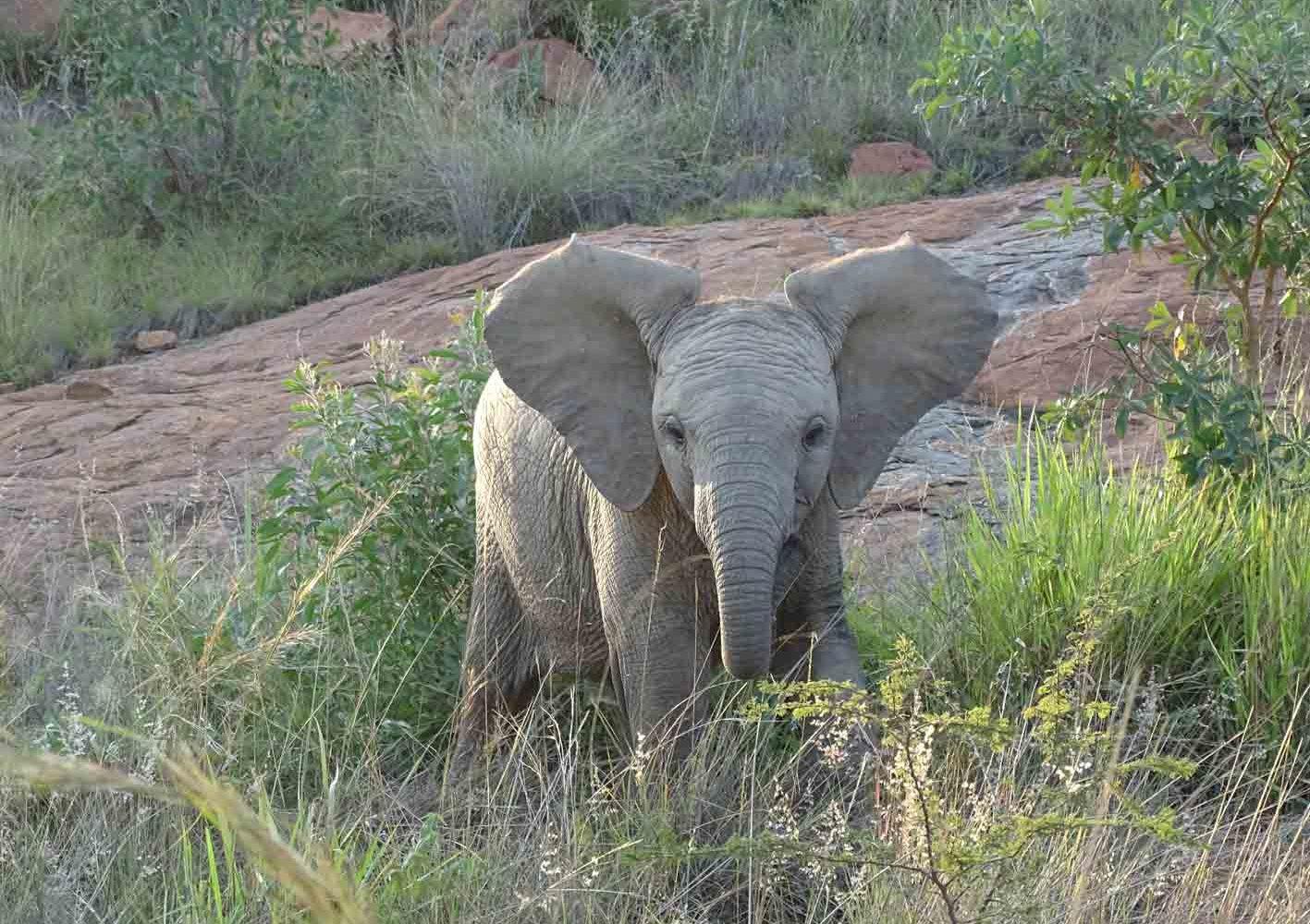 Junger Elefant im Krüger-Nationalpark, Südafrika