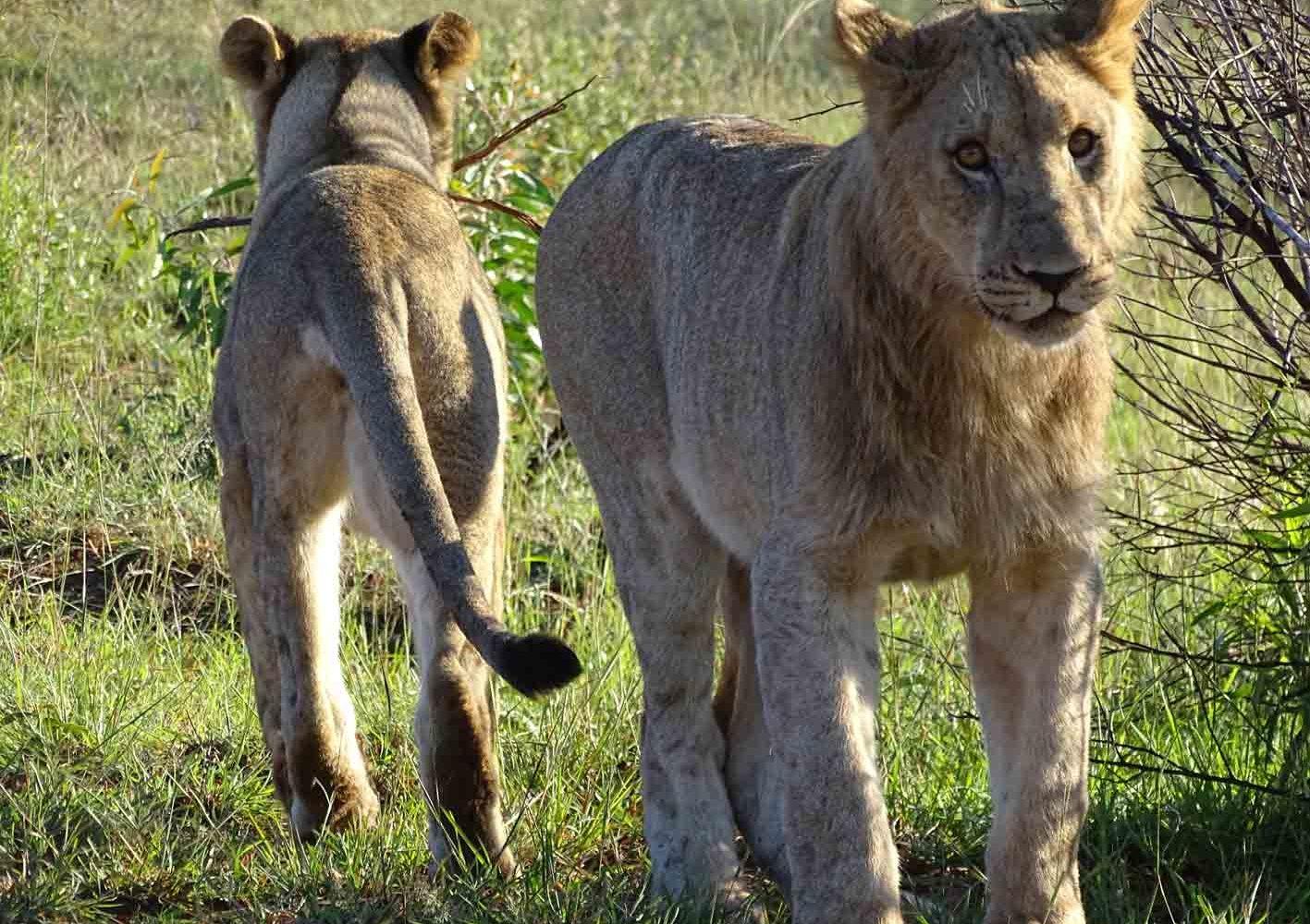 junge Löwen im Pilanesberg-Nationalpark, Südafrika