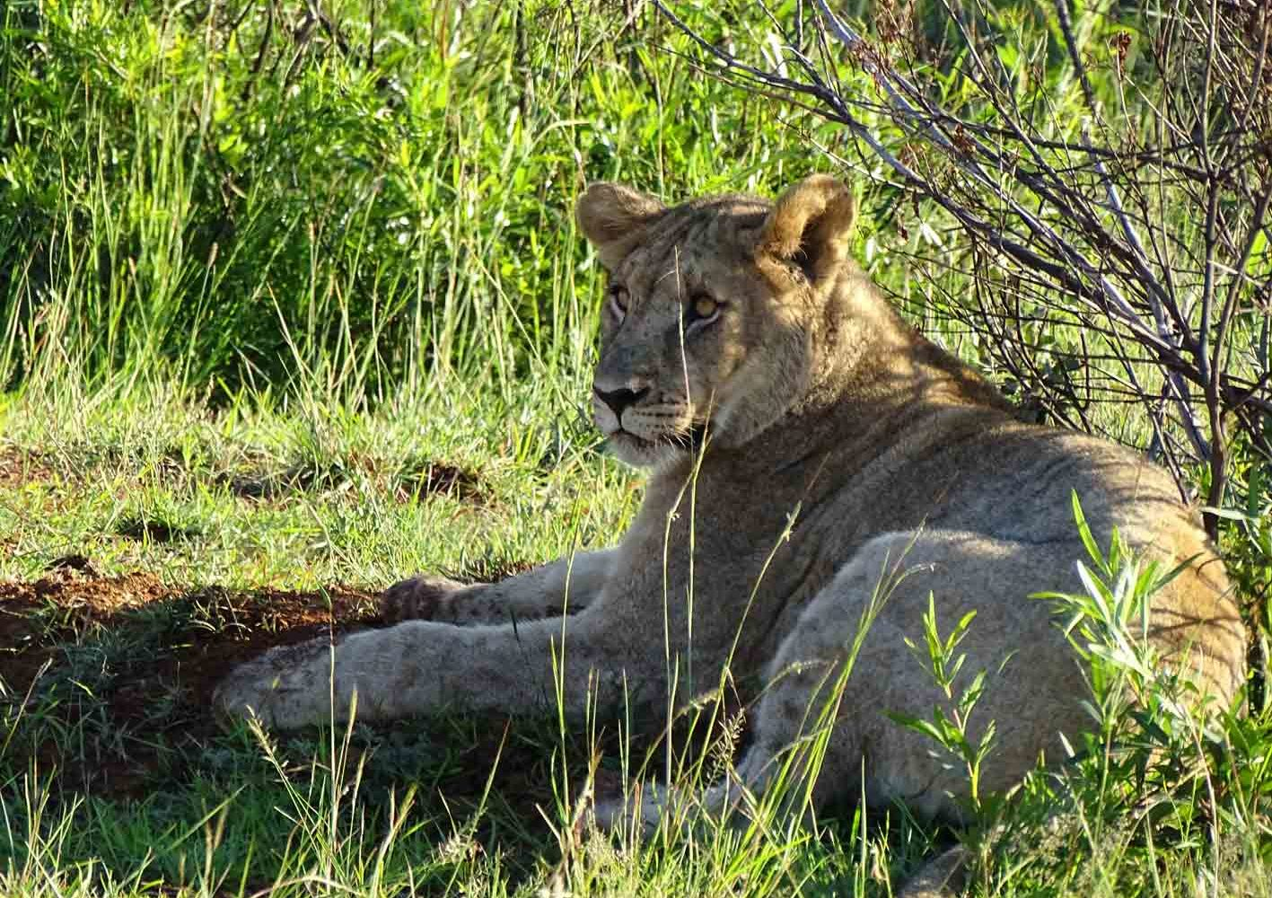 Löwin im Pilanesberg Nationalpark, Südafrika