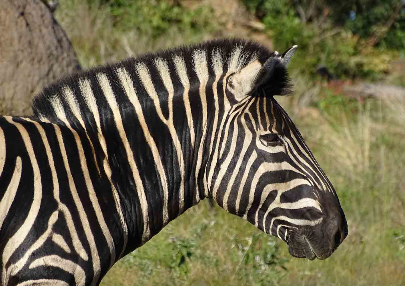 Zebra im Pilanesberg-Nationalpark, Südafrika
