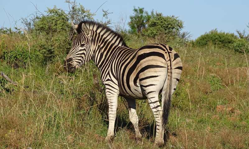 Zebra im Pilanesberg-Nationalpark