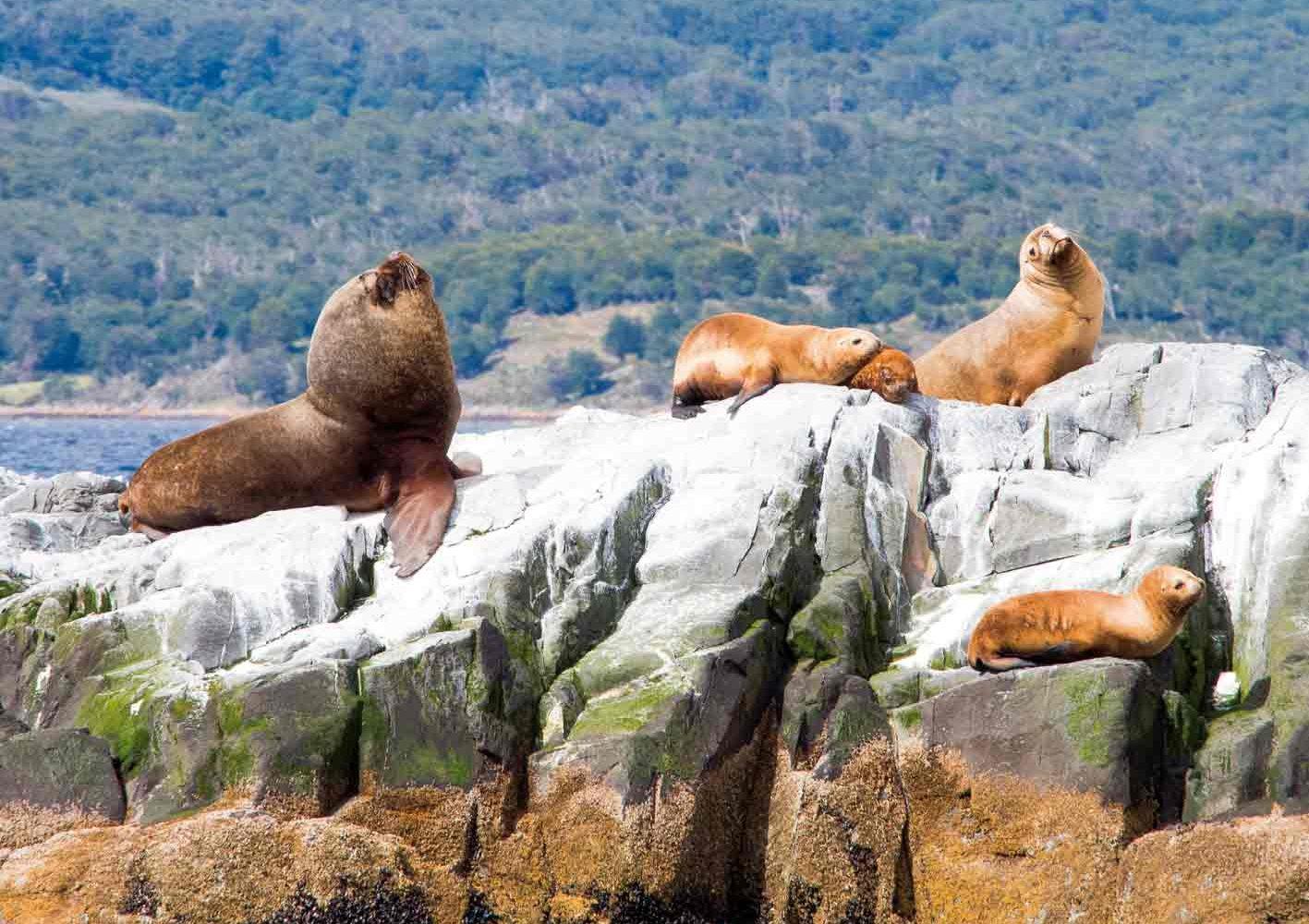 Seelöwen auf einer Insel im Beagle-Kanal