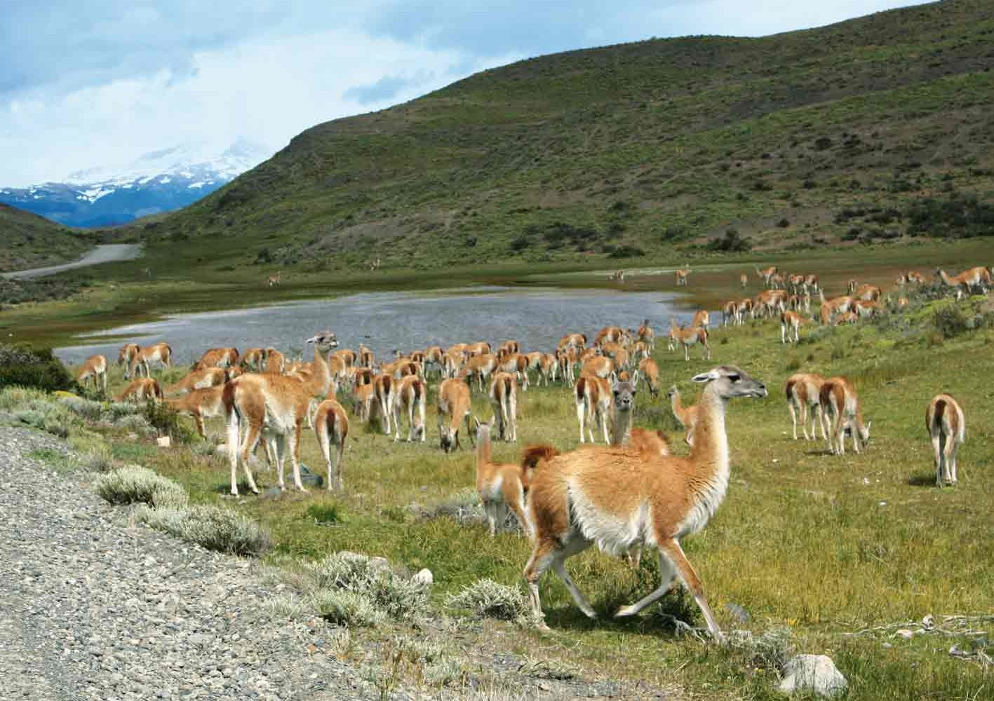 Guanacos im Torres del Paine-Nationalpark, Chile