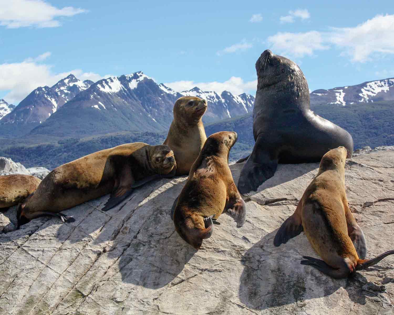 Seelöwen im Beagle-Kanal, Feuerland, Patagonien, Argentinien