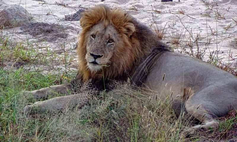 Löwe im Krüger-Nationalpark