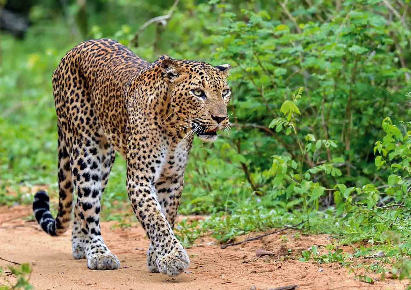 Leopard im Yala-Nationalpark, Sri Lanka