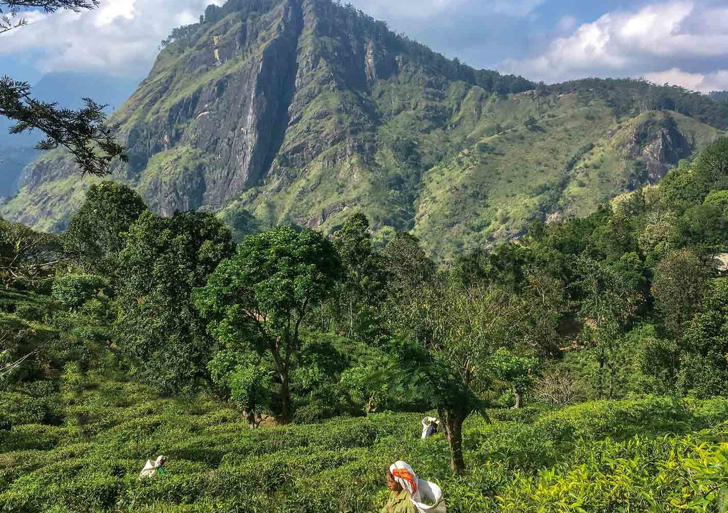 Kurze Wanderung in den Teegärten, Sri Lanka