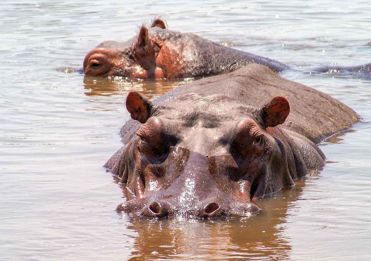 Hippos im Wasser, Zambia