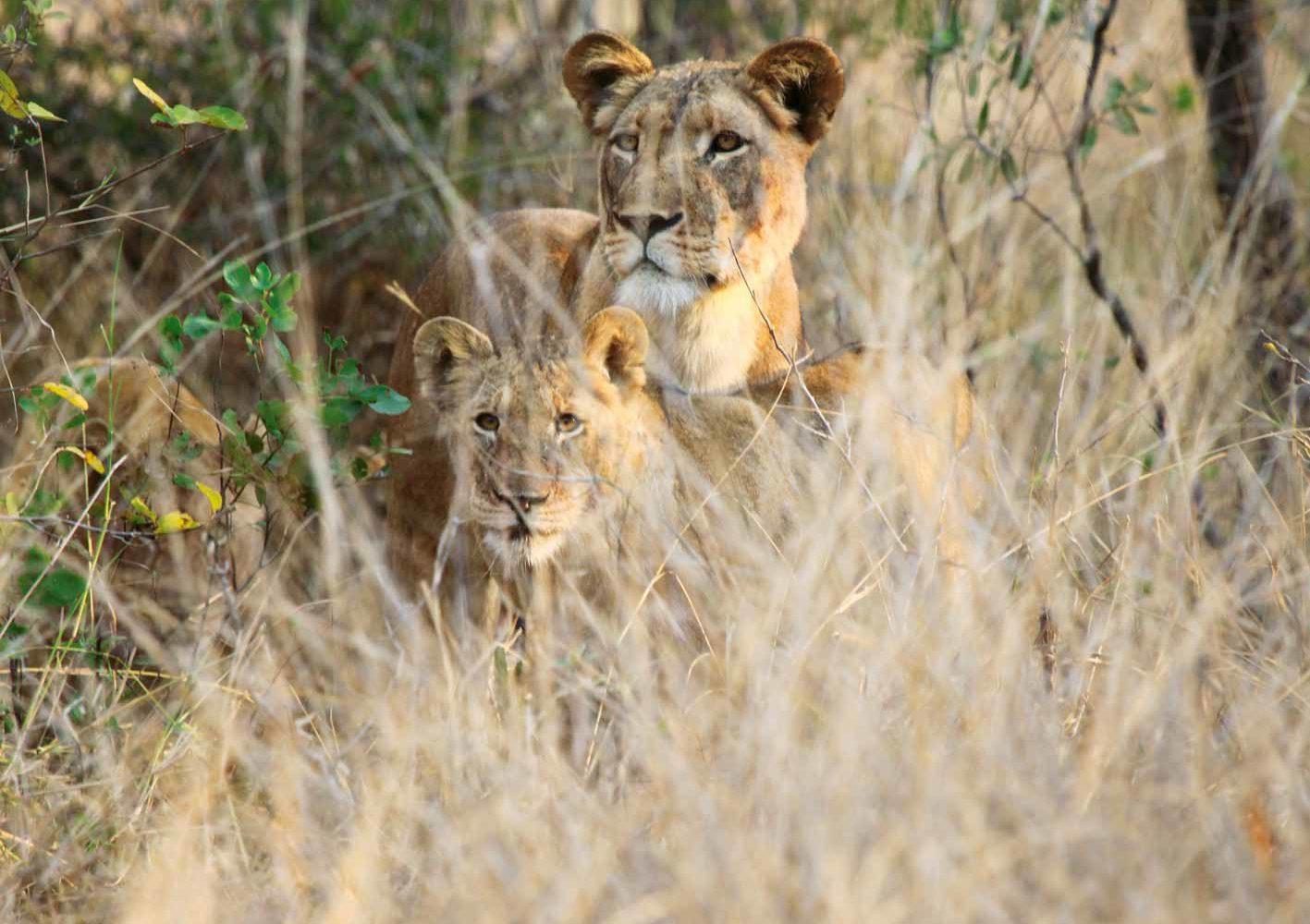 Löwenfamilie, gesichtet auf einer Safari, Zambia