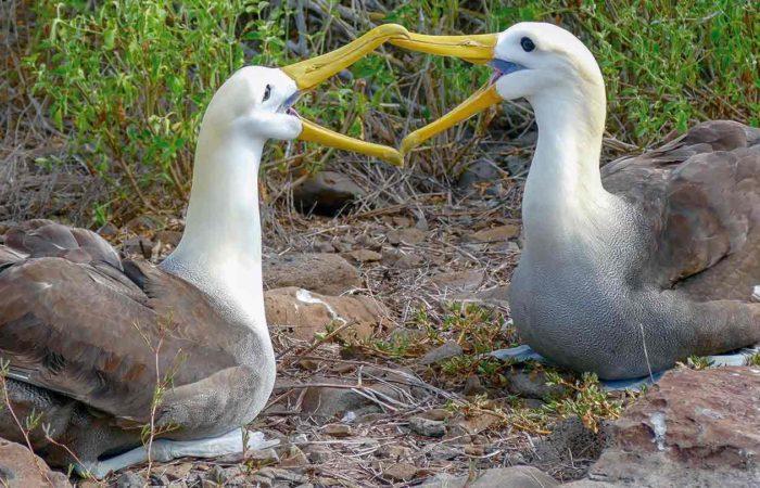 Galápagos-Albatrosse auf der Insel Española, Ecuador
