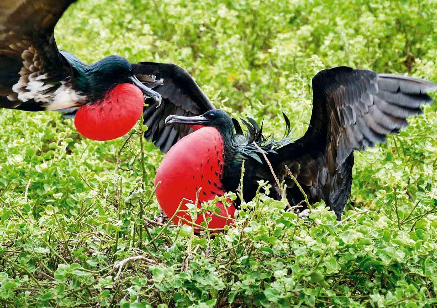 Prachtfregattvögel bei der Balz, Galápagos