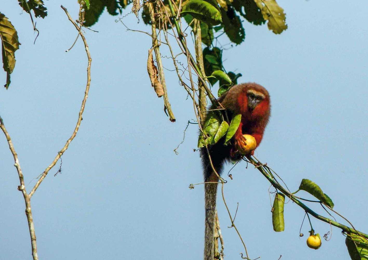 Amazonas: Weissschwanz-Springaffe bei der Nahrungssuche