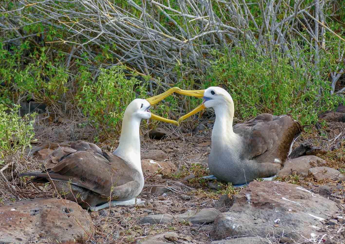 Albatrosse können auf der Insel Española zwischen April und Oktober beobachtet werden.