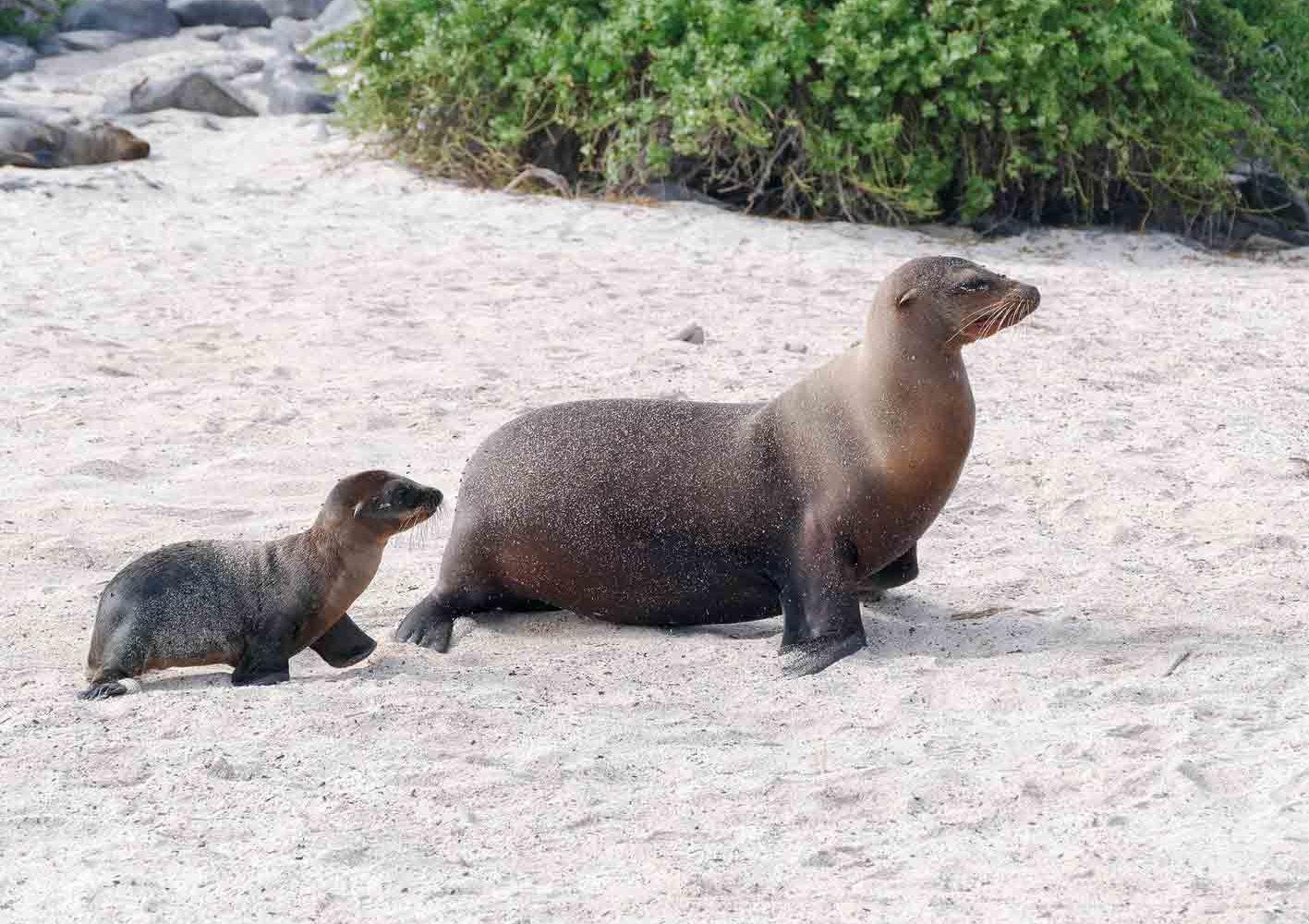 Wir begegnen auch Seelöwen-Kolonien.