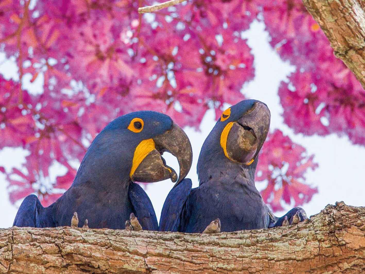 Blaue Aras, Pantanal, Brasilien Foto: Amaury Santos