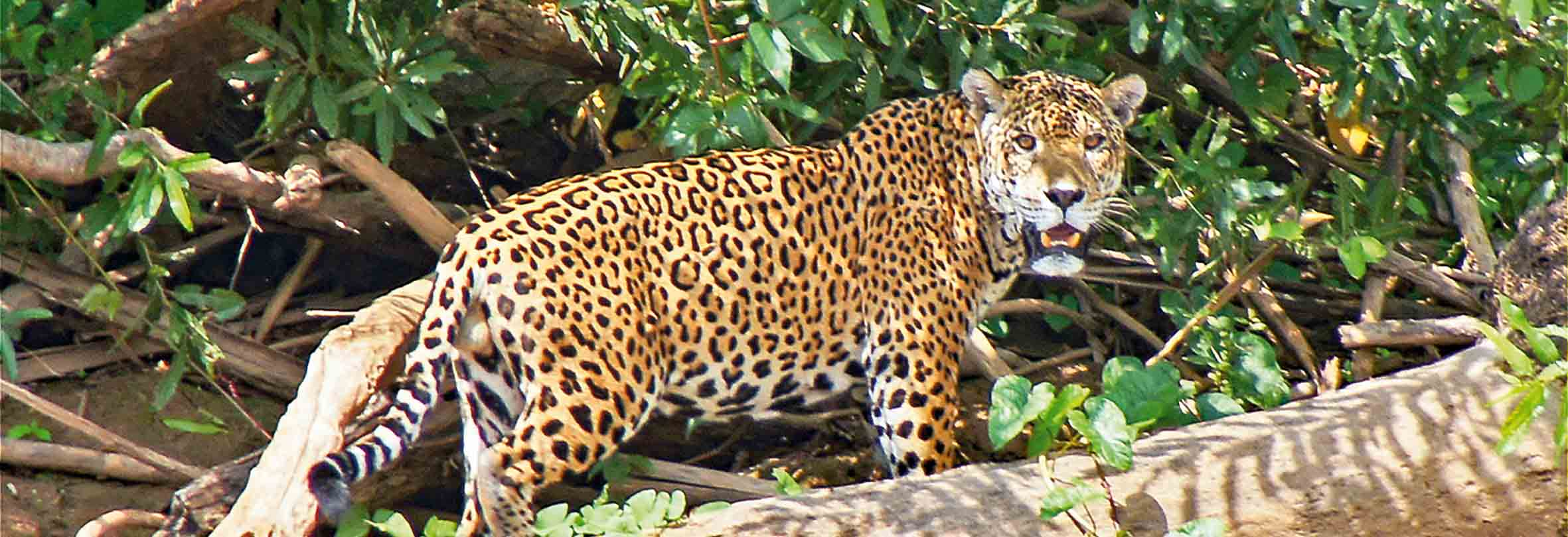 Jaguar-Safari im Pantanal, Brasilien