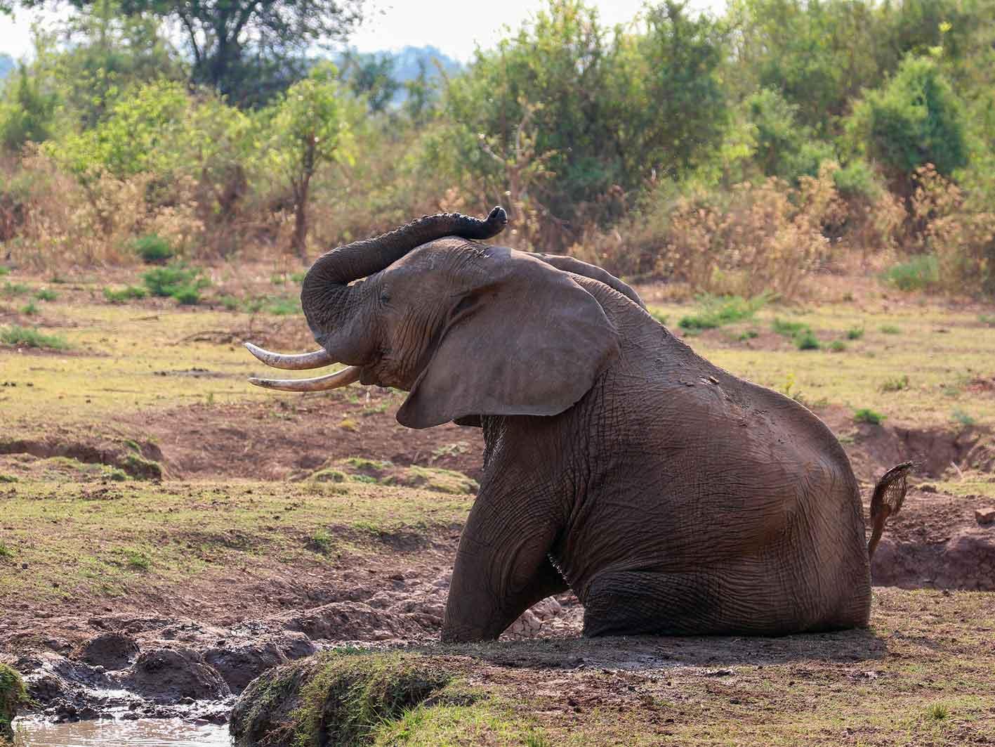 Elefant, Zambia-Safari