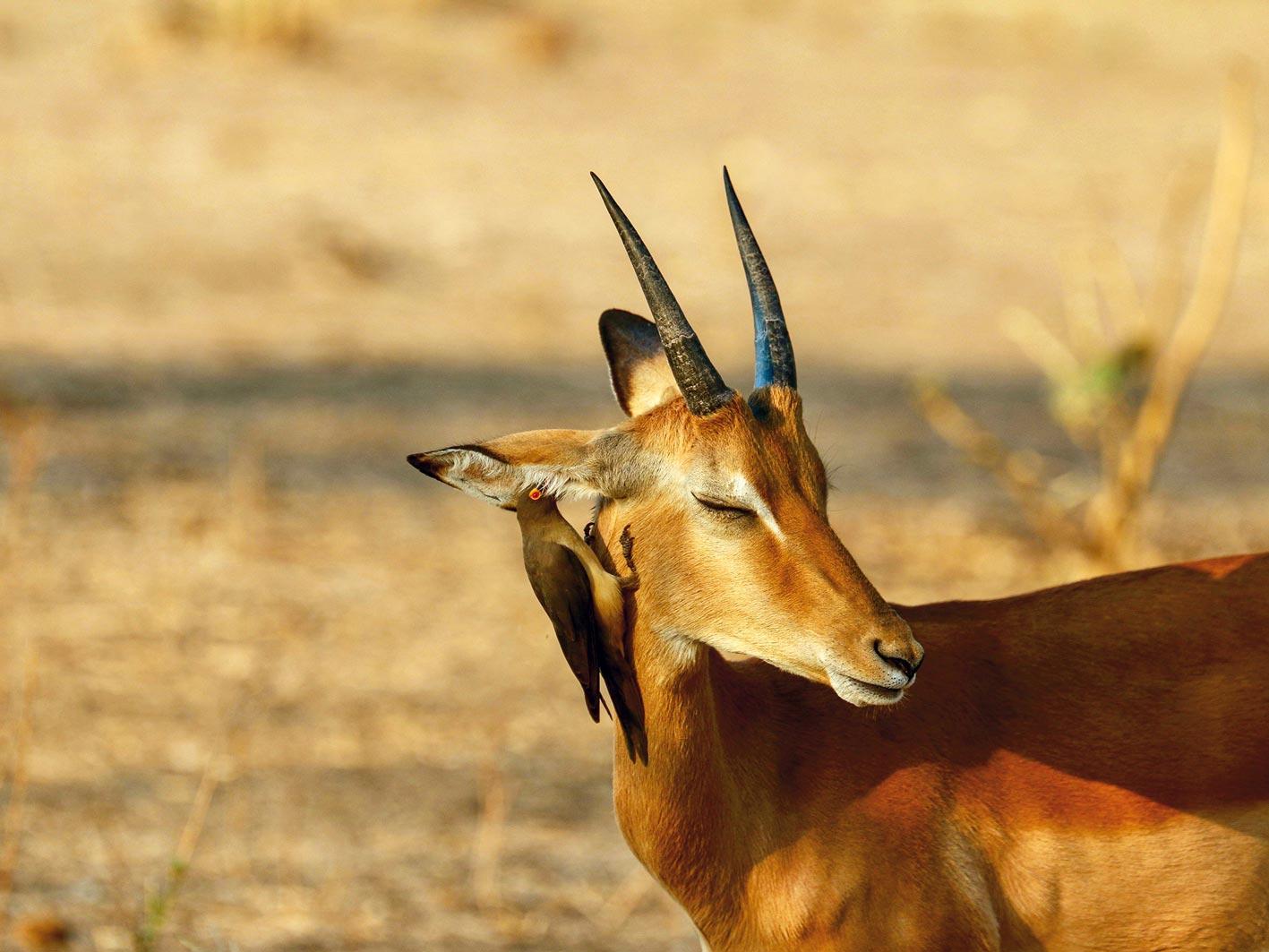 Impala mit Vogel im Ohr, Zambia-Safari