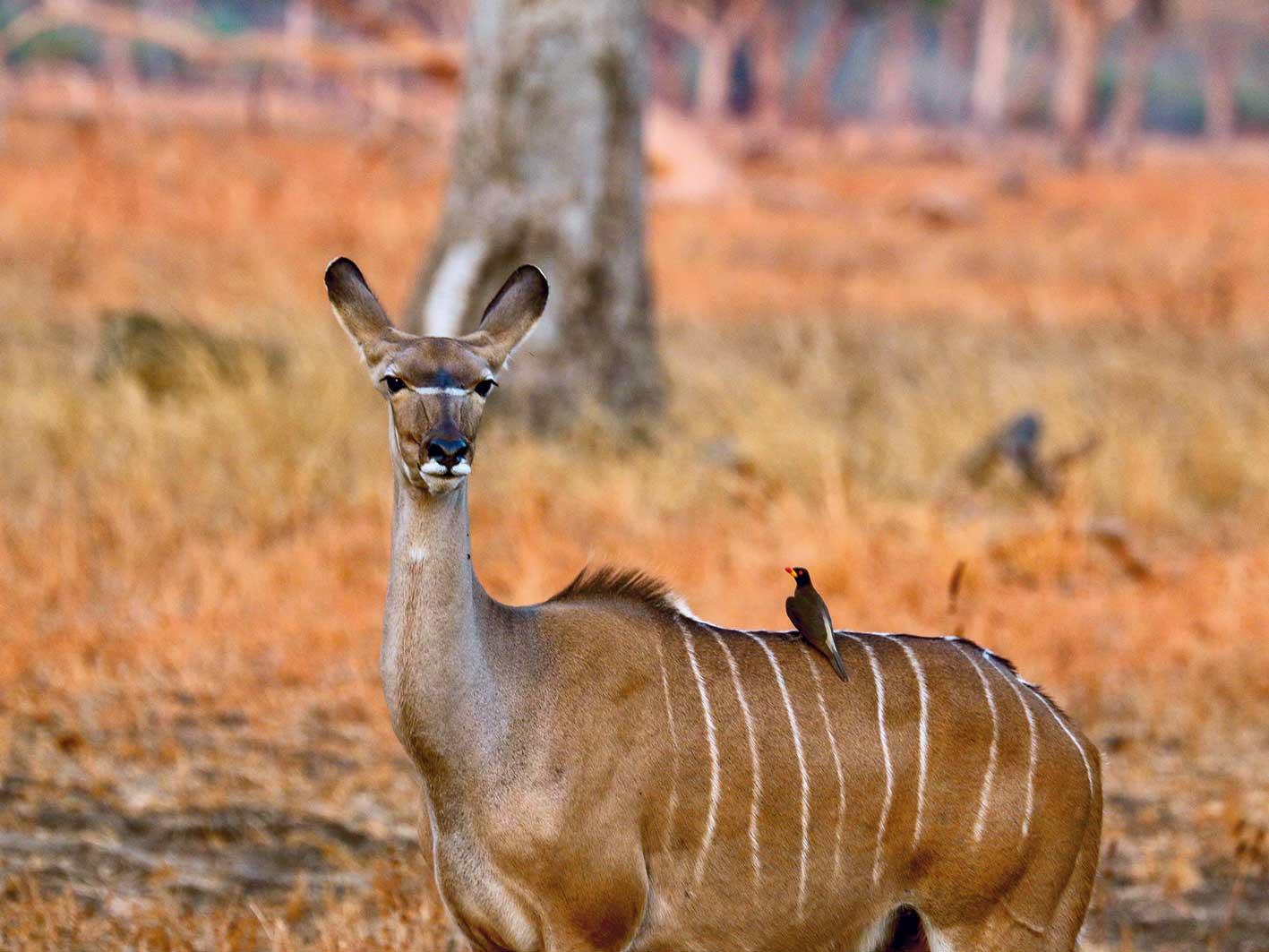 Kudu, Zambia-Safari