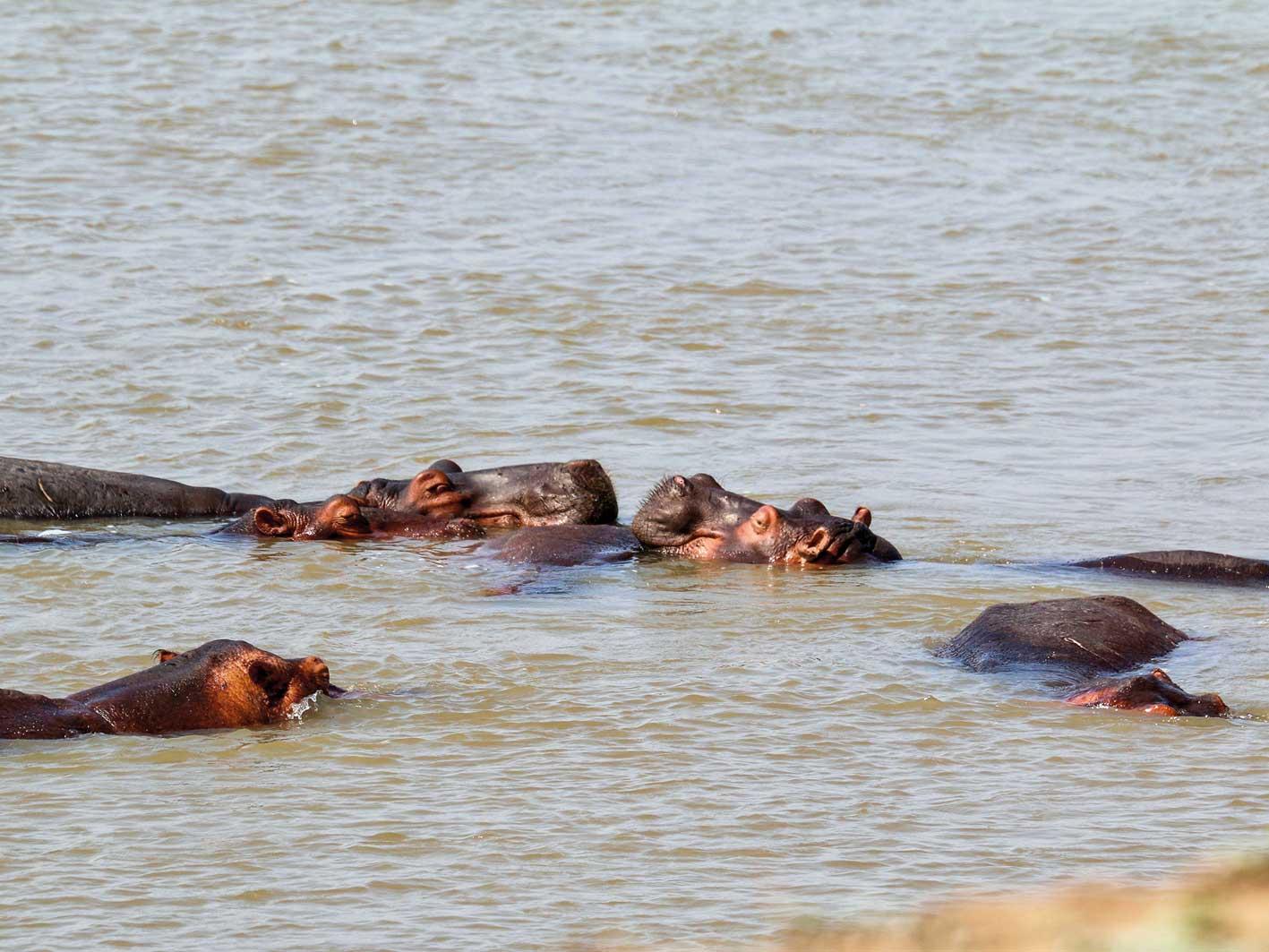 Nilpferde im Fluss, Zambia-Safari