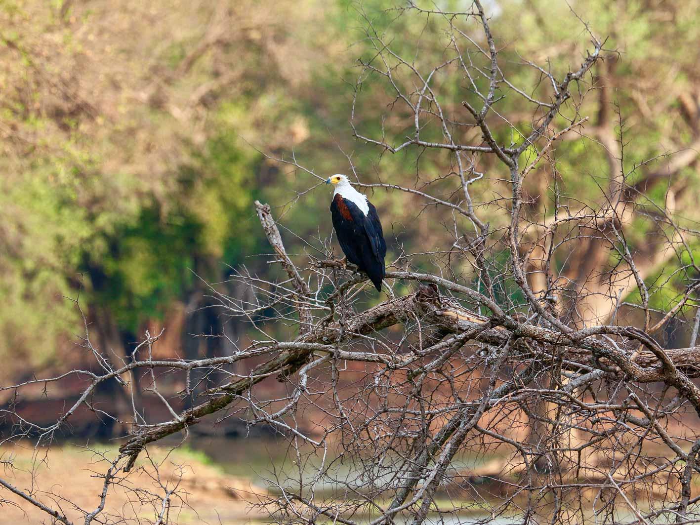 African Fish Eagle, Schreiseeadler, Zambia-Safari