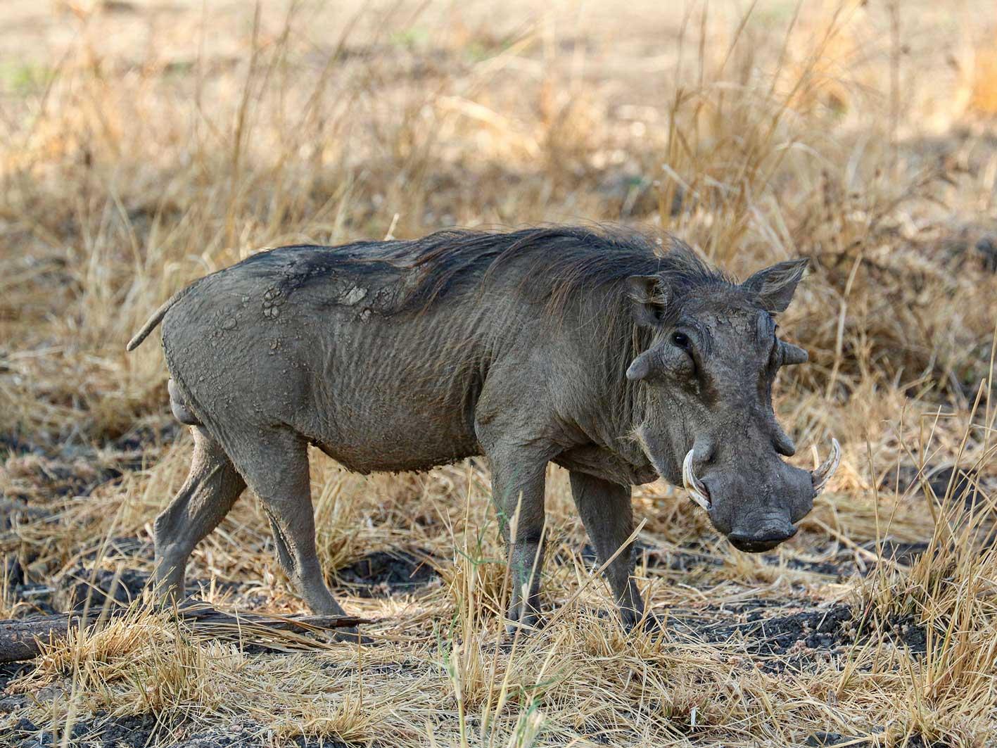 Zambia-Safari-Reise Warzenschwein