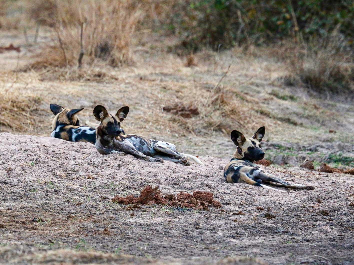 Wild Dogs (Afrikanische Wildhunde), gesichtet auf einer 4x4-Safari-Tour
