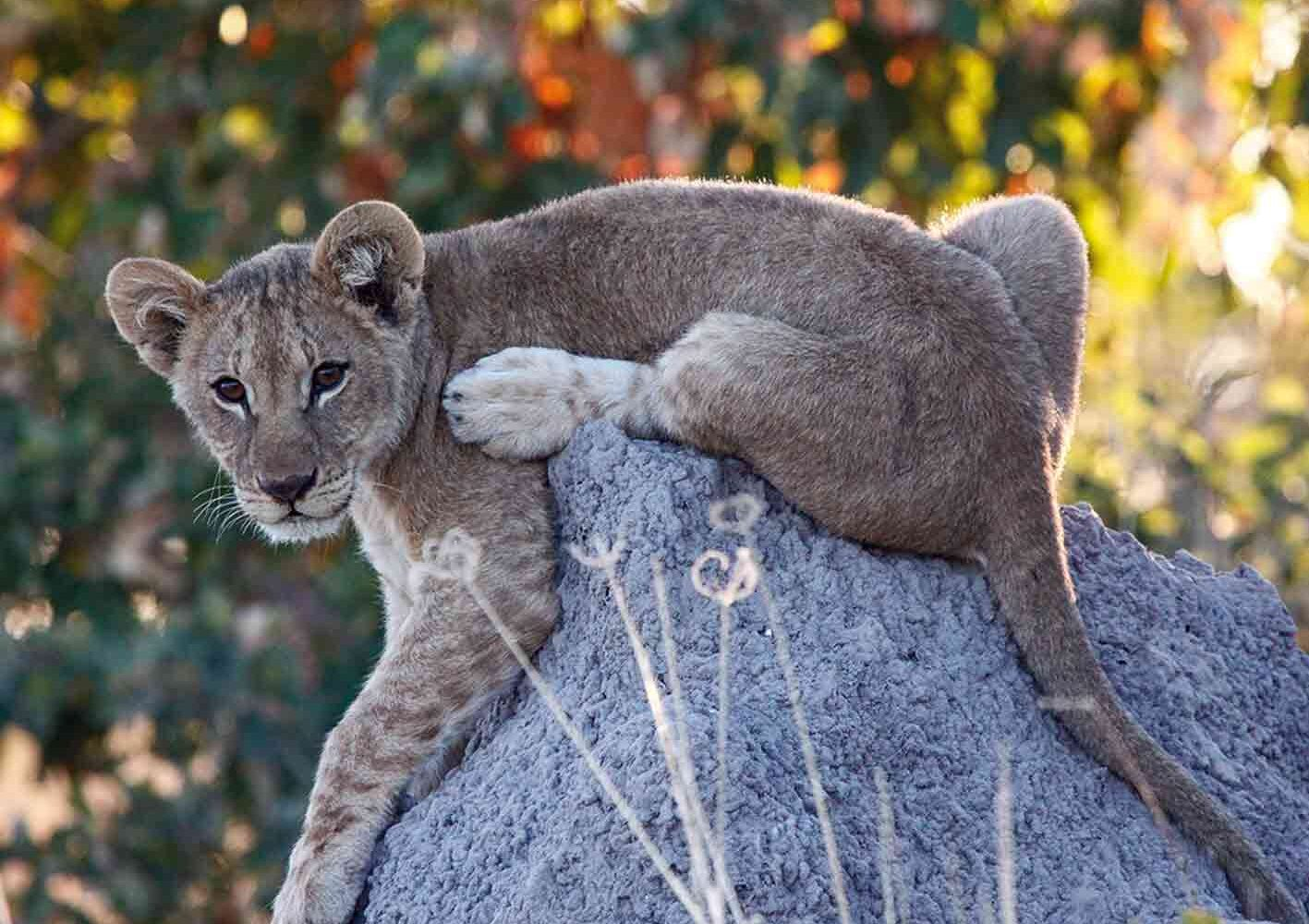 Junger Löwe, entdeckt auf der Safari mit dem Fahrzeug