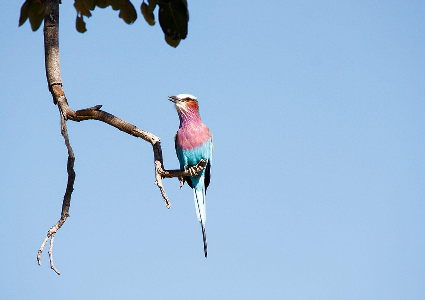 Gabelracke, der Nationalvogel von Botswana