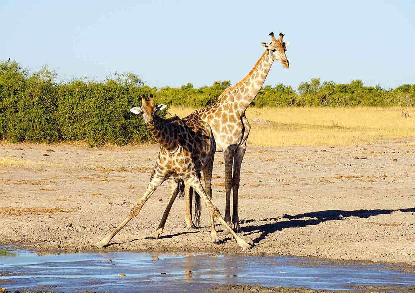 Giraffen, Botswana