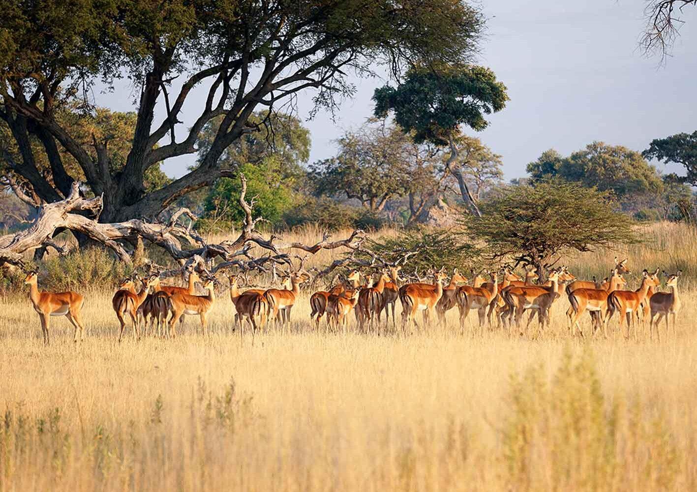 Impalas im Okawango-Delta, Botswana