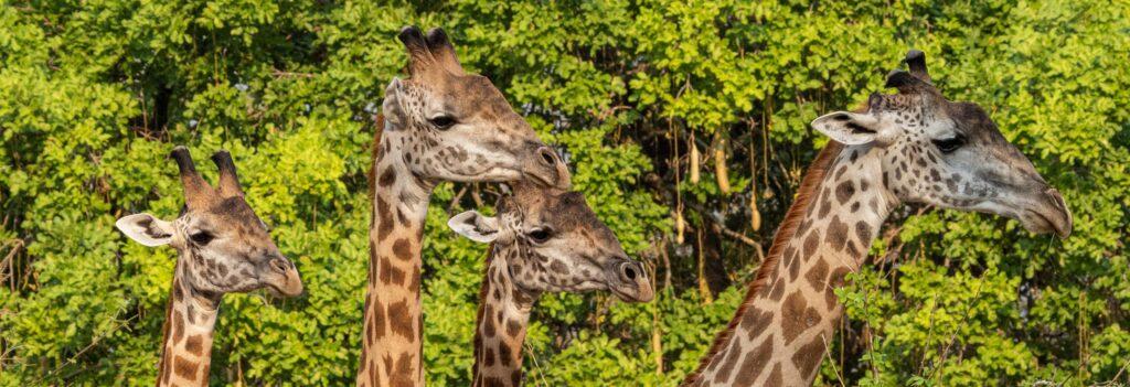 Giraffen, Zambia, Zambia-Safari